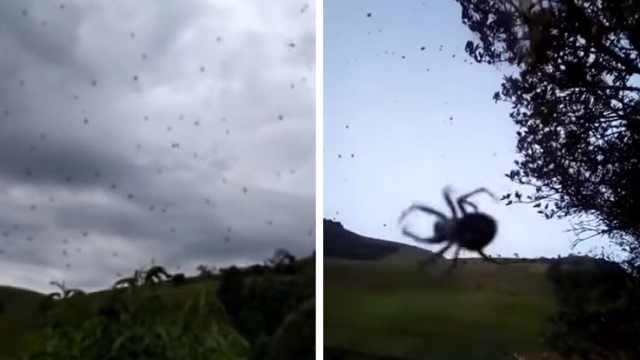 """密恐慎入!巴西天空下起""""蜘蛛雨"""""""