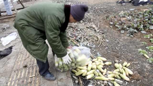 十几万斤萝卜卖不出,菜农边卖边扔