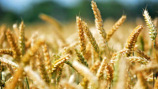 粮食小百科之小麦