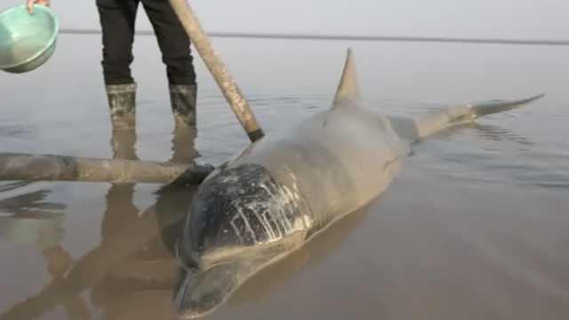 海豚搁浅退潮海滩,村民橡皮艇送走