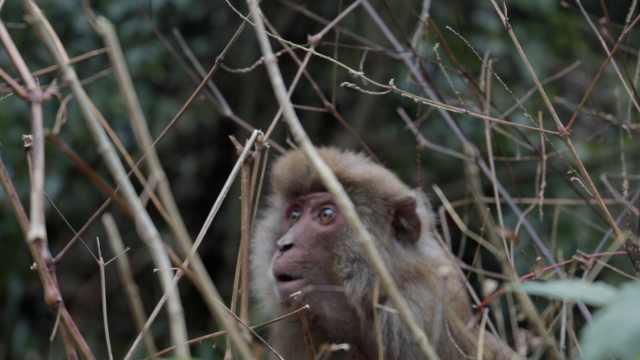 """濒死小猴听""""猴爸""""呼唤喂食秒坐起"""