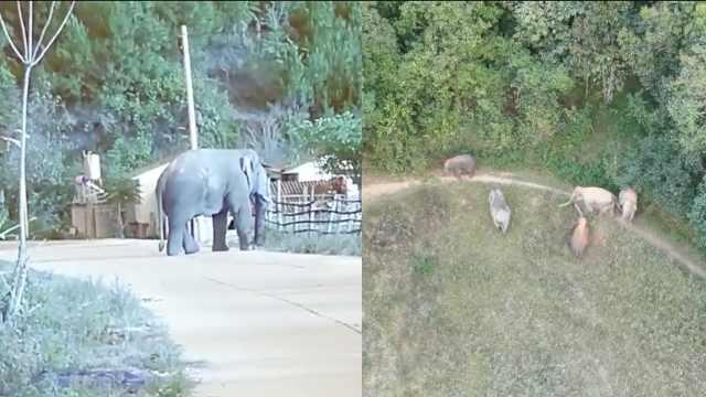 10头野象进村游荡,带头大哥已40岁