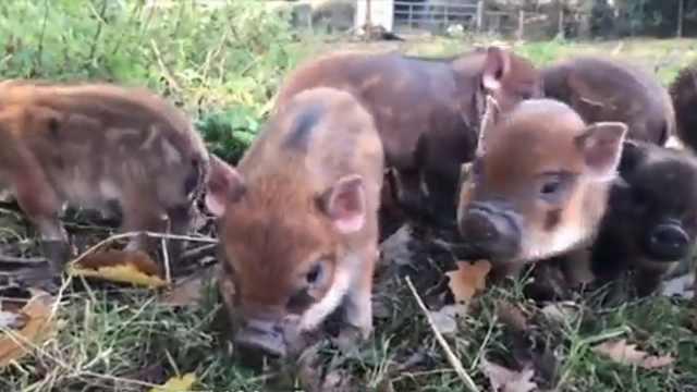 日本首家猪咖:希望发掘猪的魅力