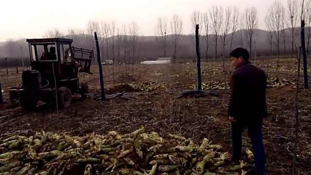 萝卜滞销菜农铲掉20万斤,只好喂猪