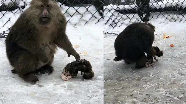 泪!幼崽死亡,母猴觅食随身抱着尸体