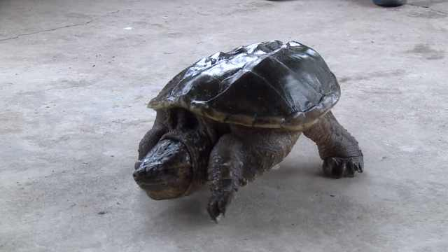 他捡龟当宠物,3年变巨龟还不能放生
