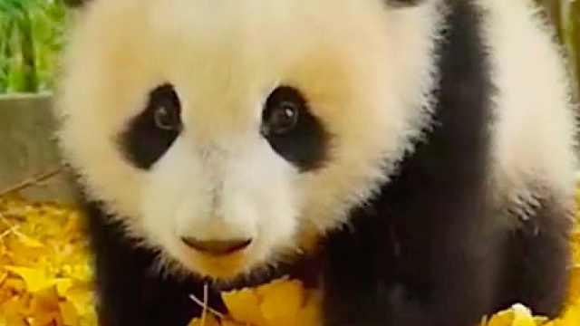 可爱到爆!竟然被一只熊猫给电到!