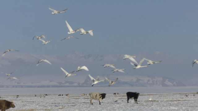 绝美!万只野天鹅回归保护区繁衍