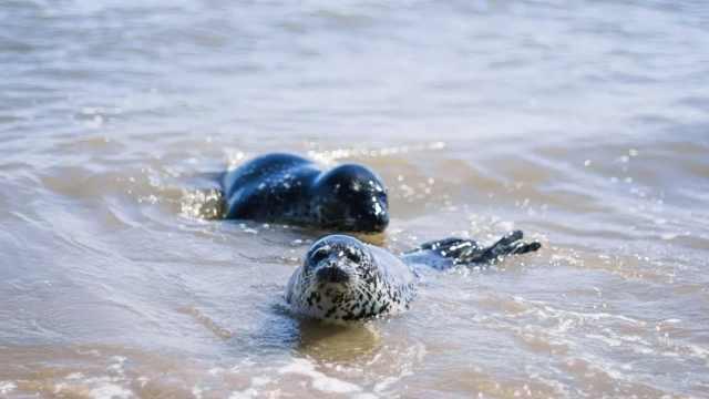 2海豹北戴河海滩嬉戏,或来自辽东湾