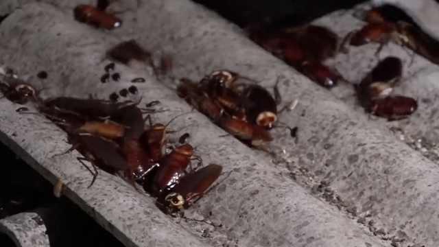 暗黑美食:蟑螂油炸似蚕蛹,还能减肥