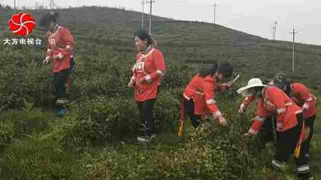 大方县高山生态茶园产供销一体化