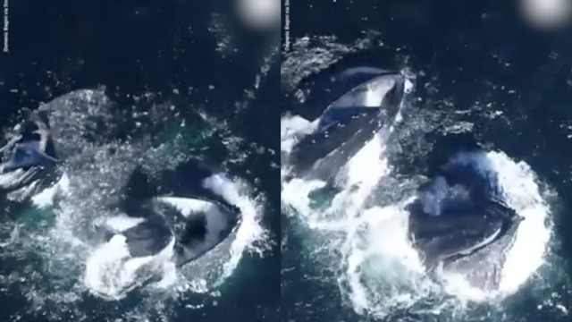 赞!镜头捕捉两头鲸鱼张嘴吃食瞬间