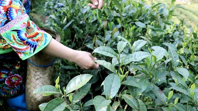 湘西这种黄金茶,翠绿如刚采摘下来