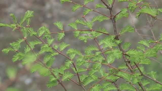 一级保护植物!庐山发现野生水杉林
