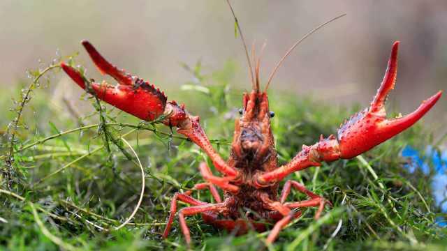 小龙虾怎么就成了中国国民美食?