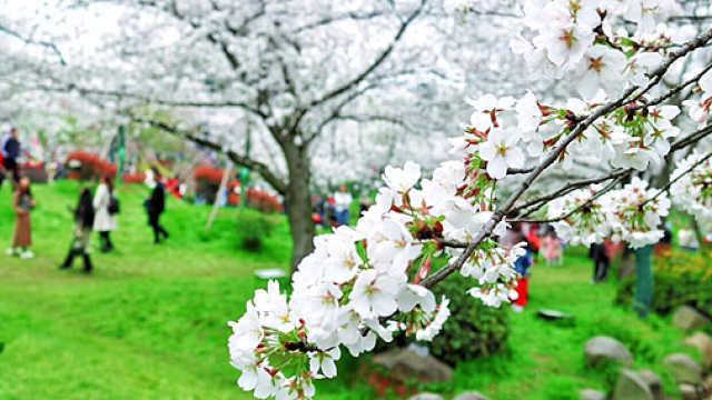 春日赏樱:中国人美学新时尚