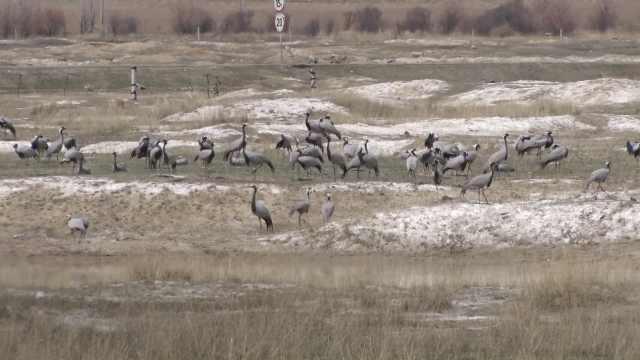 奇观!万只灰鹤做客可可苏里湿地