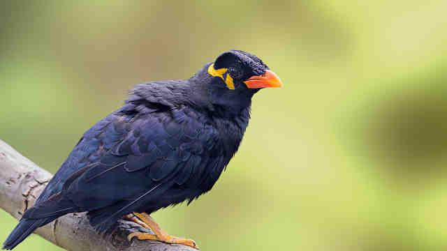 会模仿人类说话的漂亮鸟类——八哥