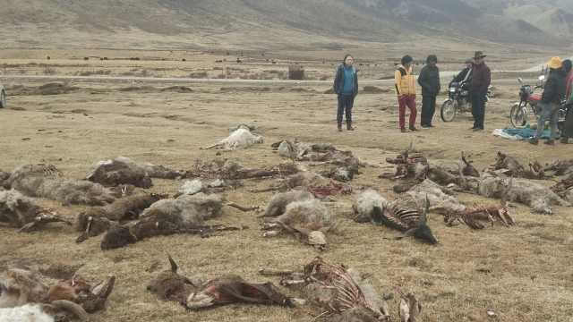 青海草原狼群出没,151只羊被咬死