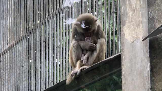 猴宝宝不幸夭折,母猴紧抱不愿放手