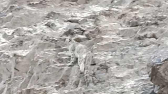 边境巡逻遇雪豹:与岩石融为一体