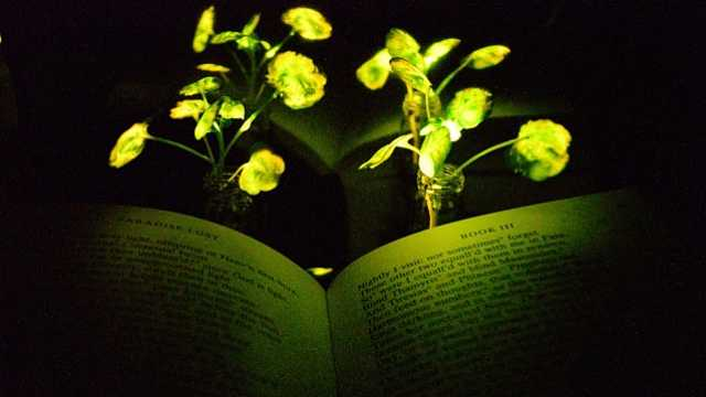 MIT发明植物照明技术!可发光数周