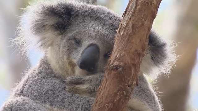 澳大利亚考拉功能性灭绝,仅剩8万