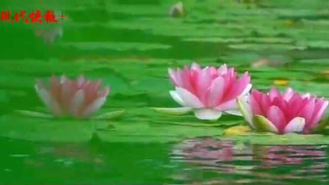 """一池睡莲花开,""""水中女神""""太美!"""