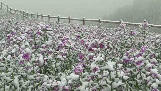 青海五月下雪现雾凇,夏花覆盖白雪