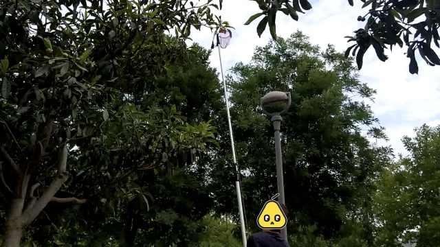 市民爬树摘景观枇杷,管理员:管不住