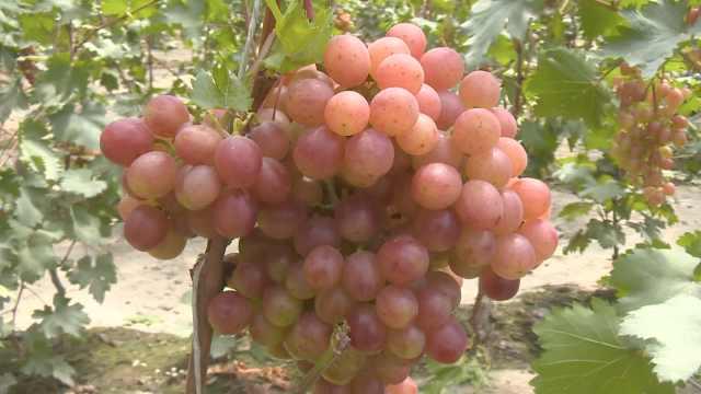 甜度爆表!吐鲁番葡萄进入盛采期