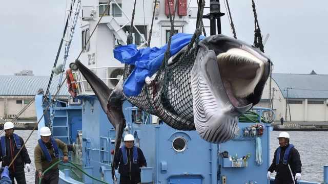 日本捕鲸重启后,首头被捕鲸鱼画面