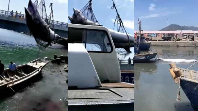 山东现5米长须鲸尸体,渔民拖带回港