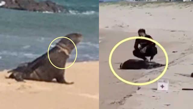 颈部套塑料垃圾,濒危海狗晕倒海边