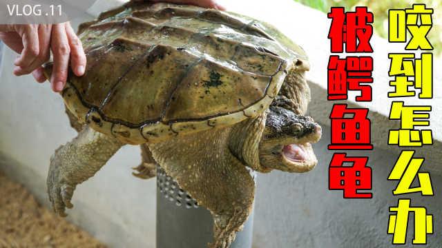 鳄龟养殖场,若被鳄龟咬到咋办