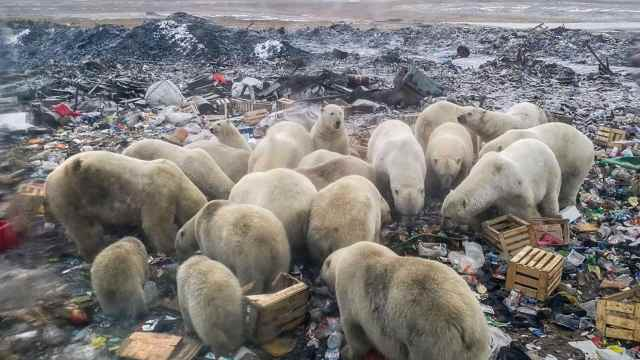 离开栖息地,北极熊在垃圾堆找吃的