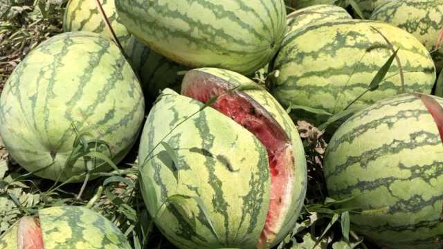 瓜农2千个西瓜被砍?警方:实为650个