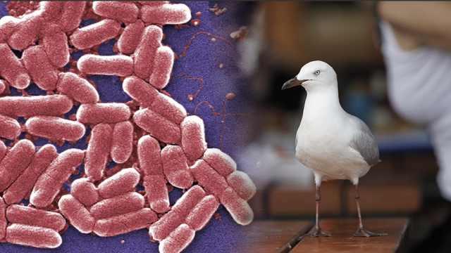 澳洲海鸥携带超级细菌:可致败血症