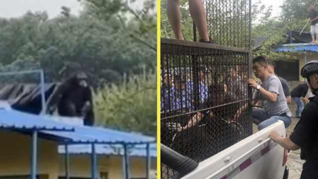 野生动物园大猩猩出逃,园方急闭园
