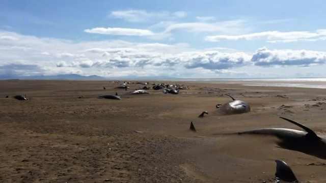 心碎!冰岛海滩惊现大批鲸鱼尸体