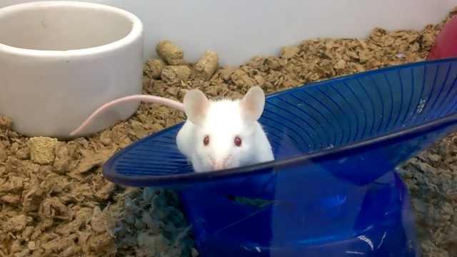 日本政府批准老鼠体内培养人体器官