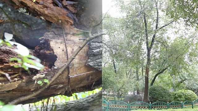 百年老树遭2次雷击,倒地上仍存活