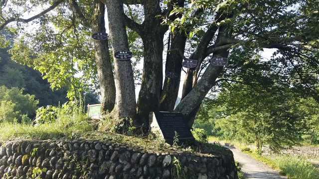 千年古树蔸长出6棵连根树,5个品种