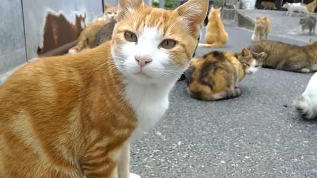 日本猫之岛疑被投毒,猫咪数量骤减