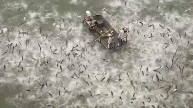 太震撼!鲤鱼被电击疯狂跃出水面