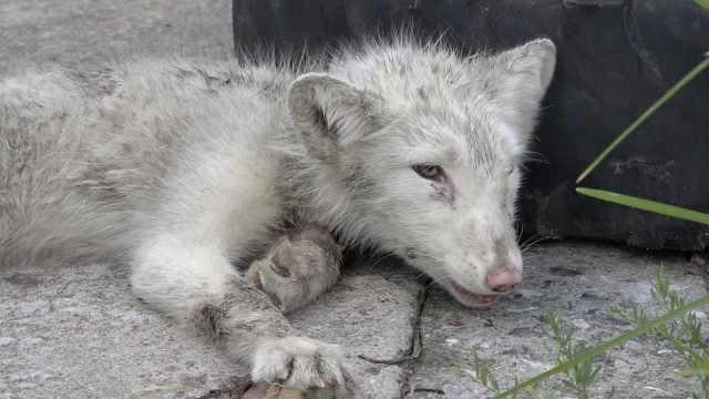 小白狐受伤呜咽不止:如婴儿啼哭