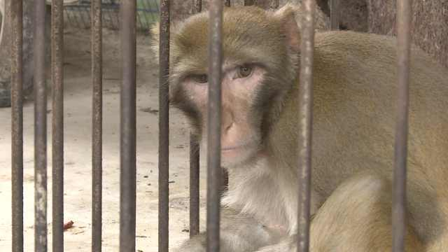 吃猴脑治头晕?他救下猕猴圈养9年