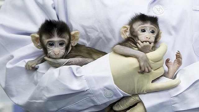 两只克隆猴在中国诞生(一)