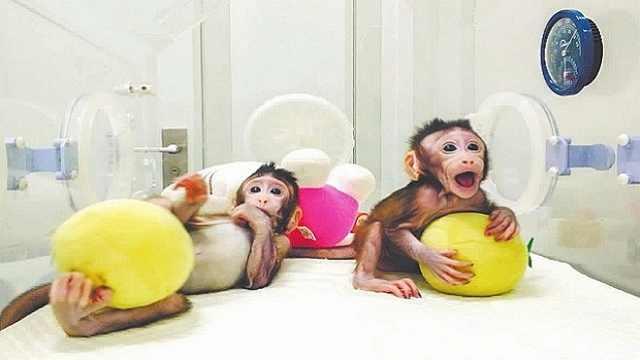 两只克隆猴在中国诞生(二)