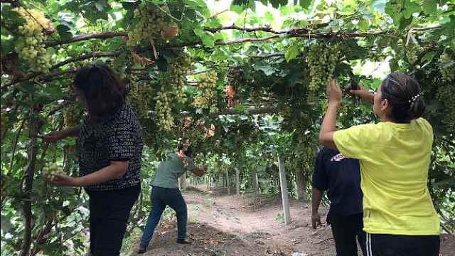 吐鲁番的葡萄熟了:今年产值达16亿
